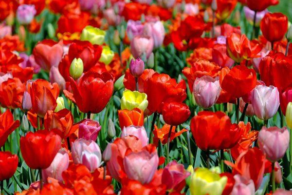 tulips-1321025_1280